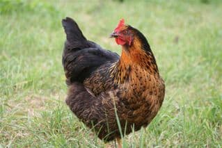 Cotswold Black Star - Available