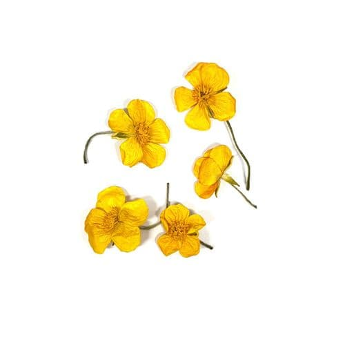 Native Collection: Dried Buttercups