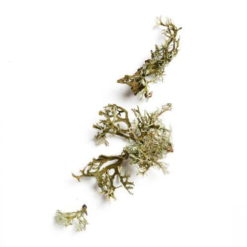 Native Collection: Old Man's Beard Lichen
