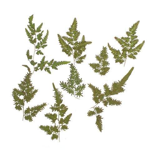Japanese Fern Leaf