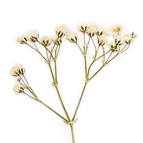 Side Pressed White Gypsophila Flowers
