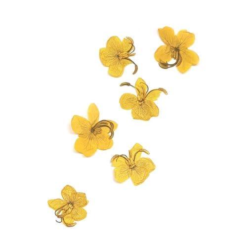 Yellow Cassia Flowers